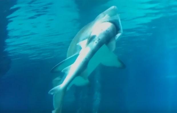 grande tubarão assustou visitantes de aquário na Coreia do Sul ao devorar outro menor  (Foto: Reuters)