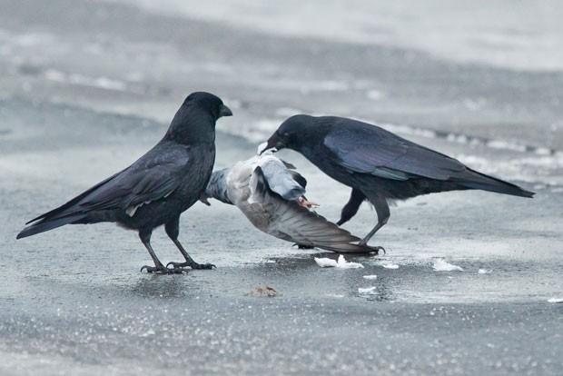 Dois corvos foram flagrados atacando um pombo que ficou ferido após se chocar com uma janela durante o voo, nesta quarta-feira (30), em Nuremberg, na Alemanha (Foto: Daniel Karmann/DPA/AFP)