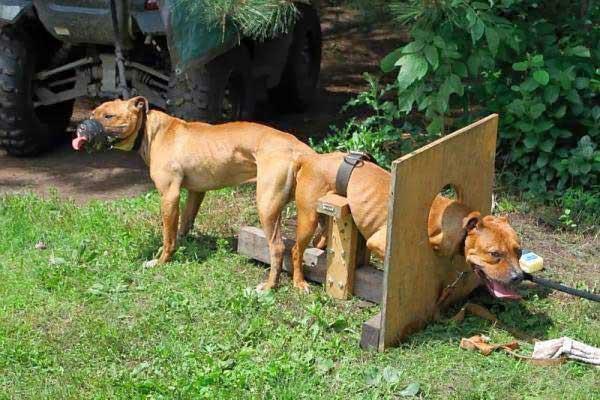 Cães são presos em instrumento para acasalamento (Foto: Divulgação)