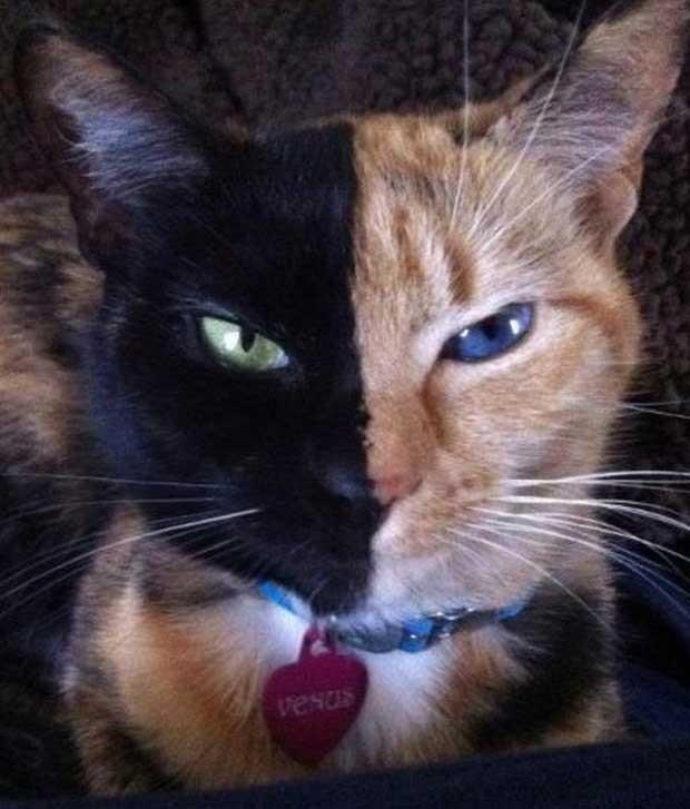 Imagem de Vênus disponibilizada pela dona na página de Facebook da felina (Foto: Reprodução)