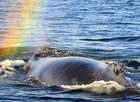 Fotógrafa capta arco-íris formado em esguicho de baleia-jubarte (Caters News/The Grosby Group )