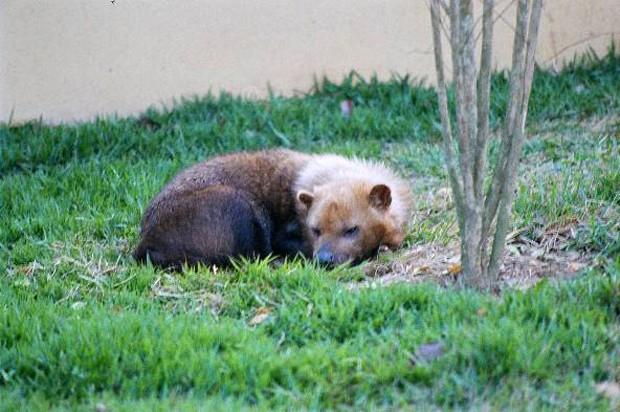 Vive em florestas, matas e campos, e é também muito sociável (Foto: Carlos Alberto Coutinho)