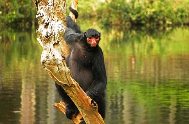 Super G1 - Macaco-aranha-de-cara-vermelha tem cauda longa e vive em  AC15