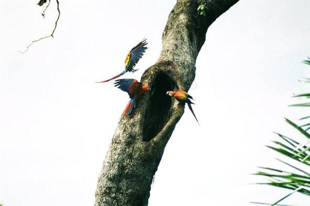 """Essa é """"comum"""" em florestas úmidas, matas de galeria e áreas abertas (como margens de rios e clareiras com árvores altas) (Foto: Aguinaldo Matos / TG)"""