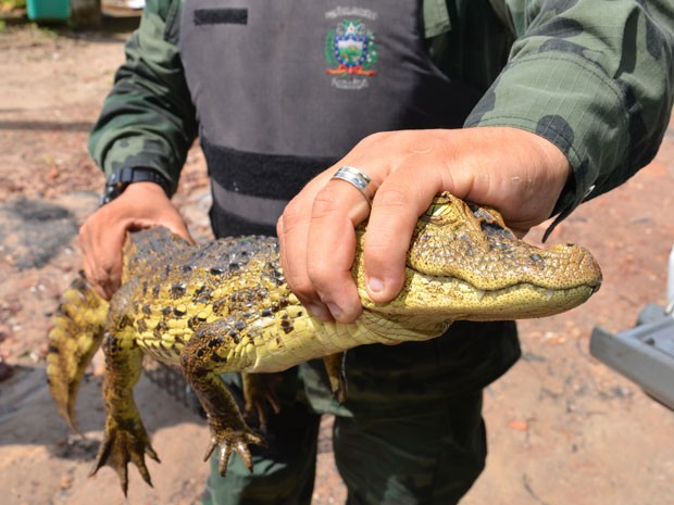 Animal estava ferido e exausto, segundo Polícia Ambiental (Foto: Walter Paparazzo/G1)