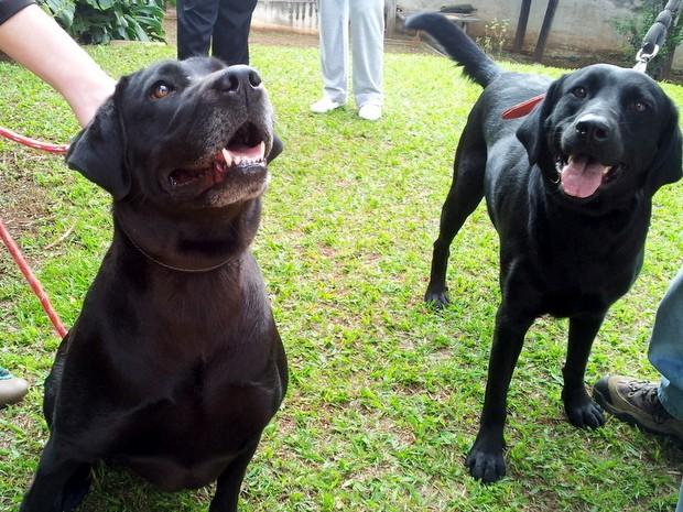 Ong Ilumina, de Piracicaba, utiliza cães labradores para auxiliar no tratamento de câncer (Foto: Leon Botão/G1)