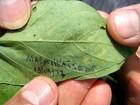 Cinco focos de ferrugem na soja são encontrados em área indígena de MT