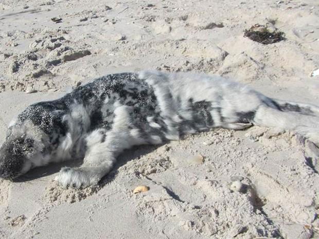 Filhote de foca-cinzenta de um  mês foi resgatado por biólogos da Riverhead Foundation for Marine Research and Preservation em uma praia de Hampton Bays, NY, na terça (2) (Foto: Daniella Ferina, Riverhead Foundation for Marine Research and Preservation via AP)