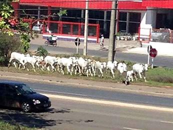 Gado é flagrado em rodovia de Mato Grosso (Foto: Valdinei de Souza e Silva/Arquivo pessoal)