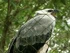 Duas harpias participam de projeto de reprodução em cativeiro no PR