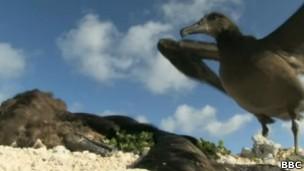 Muitos albatrozes morrem após a ingestão de plástico (Foto: BBC)