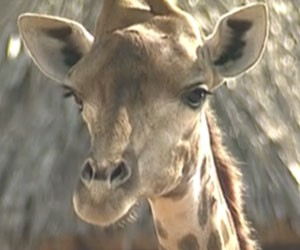 Zagallo pode ter que deixar o zoo do Rio (Foto: Reprodução / TV Globo)