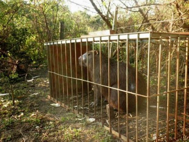 Capivara de 100 kg foi capturada com armadilha artesal e seria abatida para consumo (Foto: Divulgação/ PMA)