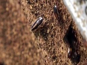 Por hábitos alimentares e ambiente que habitam, baratas têm maiores chances de sobreviver a explosões nucleares (Foto: Reprodução/ RPC TV)