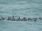 Mais 46 pinguins encontrados em praias do ES são soltos no mar
