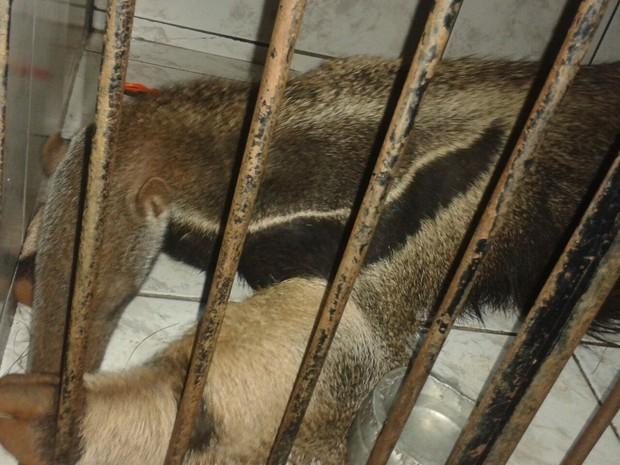 Tamanduá foi encontrado com sintomas de envenenamento (Foto: Gave/Divulgação)