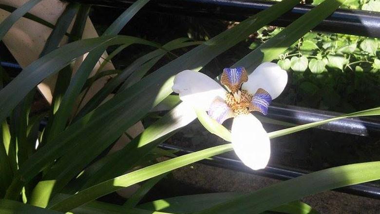 iris-flor-gr-responde (Foto: Giselli Correa/Acervo pessoal)