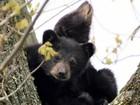 Filhotes de urso são resgatados após mãe morrer eletrocutada nos EUA