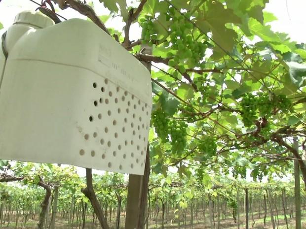 Produtor Líbero Favarin instalou cinco alto-falantes dentro de galões de plástico e espalhou pela plantação (Foto: Reprodução/TVCA)