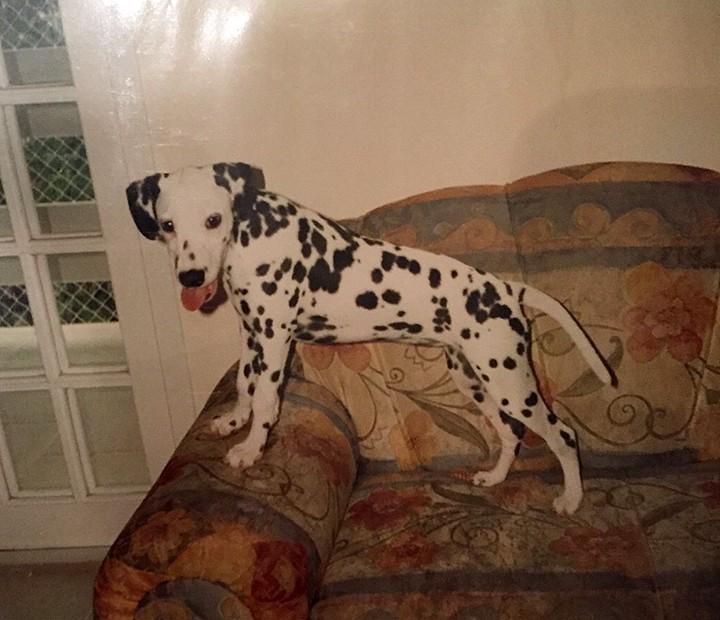 Gaia, a dálmata, foi a primeira cadela de Nicolas quando ele tinha quatro anos (Foto: Arquivo Pessoal)