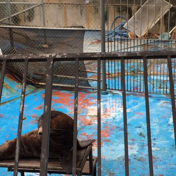 Leão marinho em tanque sem água no Zoológico do Rio (Foto: MPF/RJ)