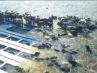 Capitania dos Portos cobra retirada de navio boiadeiro naufragado no PA