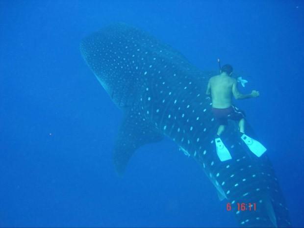 Pesquisador nada com tubarão-baleia nas proximidades de São Pedro e São Paulo (Foto: Divulgação)