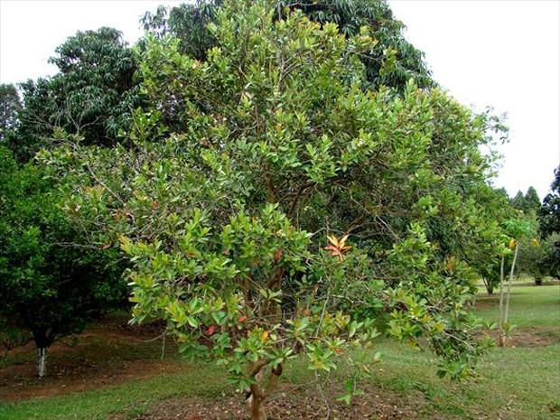 Brasileiríssima, esta espécie ocorre da Bahia até o Rio Grande do Sul (Foto: Giselda Person / TG)