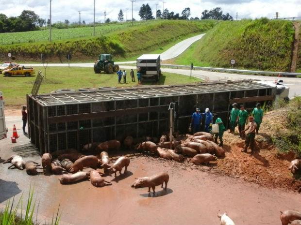 Carreta com porcos tombou na rodovia Raposo Tavares em Capela do Alto (Foto: Arquivo pessoal / Edson Leite)