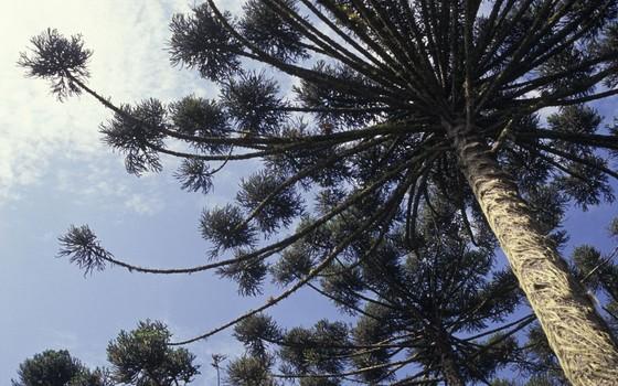 Pinheiro araucária no Sul do Brasil (Foto: Zig Koch - divulgação)