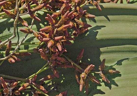 Minúsculas flores amarelas nascem nos cones masculinos, mais alongados  (Foto: © Haroldo Castro/ÉPOCA)