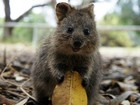 Quokka, marsupial australiano 'rei das selfies', está ameaçado de extinção