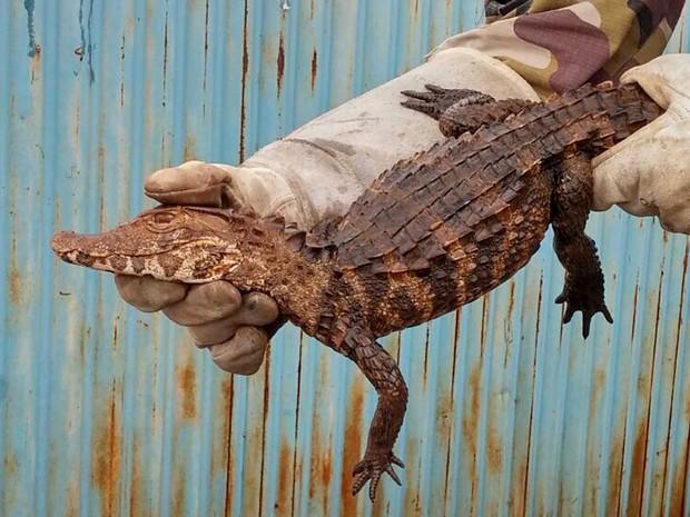 Jacaré-tinga encontrado em trecho da DF-130, no Lago Sul (Foto: Polícia Militar/Divulgação)