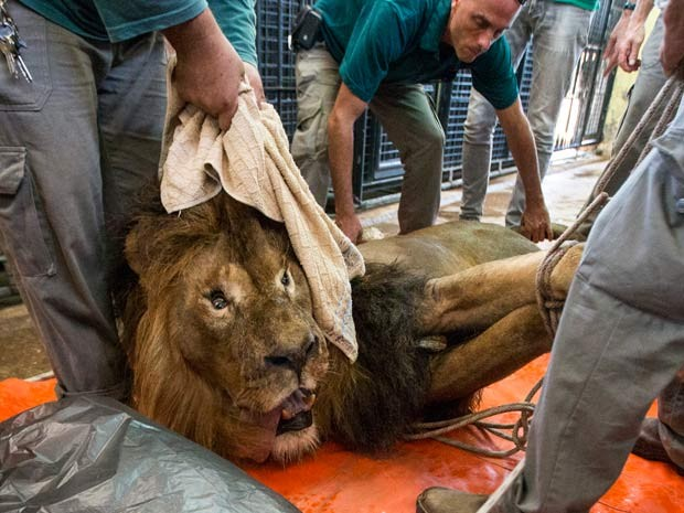 O leão Samoan é transportado ao hospital veterinário do zoológico Ramat Gan, em Tel Aviv (Foto: AFP PHOTO / JACK GUEZ)