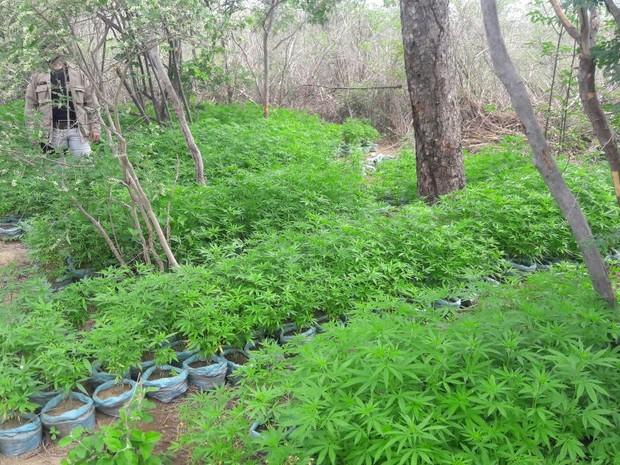 19 mil pés de maconha são erradicdos no Projeto Fulgêncio em Santa Maria da Boa Vista (Foto: Divulgação/ 7º CIPM)