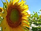 Mato Grosso concentra a safra de girassol e reduz a área plantada