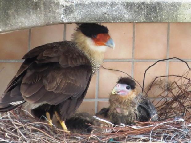 Gavião formou família em buraco de ar condicionado (Foto: Marcos Vinicius Yog / Arquivo Pessoal)