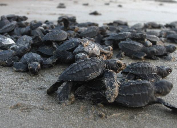 Grupo de filhotes de tartaruga se aglomeram em praia de La Flor, na Nicarágua (Foto: Oswaldo Rivas/Reuters)