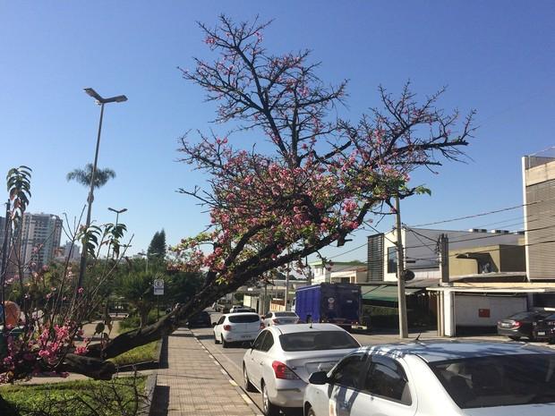 Cerejeira na Praça Norival Tavares, em Mogi das Cruzes (Foto: Cristina Requena/G1)