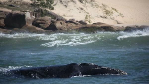 Baleia no Roteiros de Charme no Estúdio SC (Foto: Divulgação)