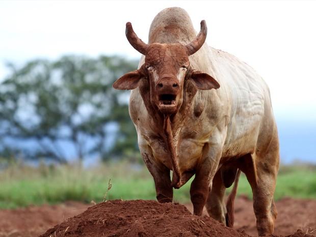 Agressivo pulou 36 vezes e não teve nenhuma parada na Professional Bull Riders (PBR) (Foto: André Silva/ Comunic Comunicação Corporativa)