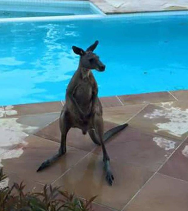 Canguru permaneceu na piscina por cerca de 45 minutos. (Foto: Reprodução/Facebook/Amy Garraway)
