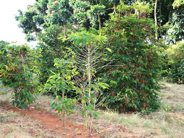 Pés de café acometidos pela doença do nematoide (Foto: Epamig/Divulgação)
