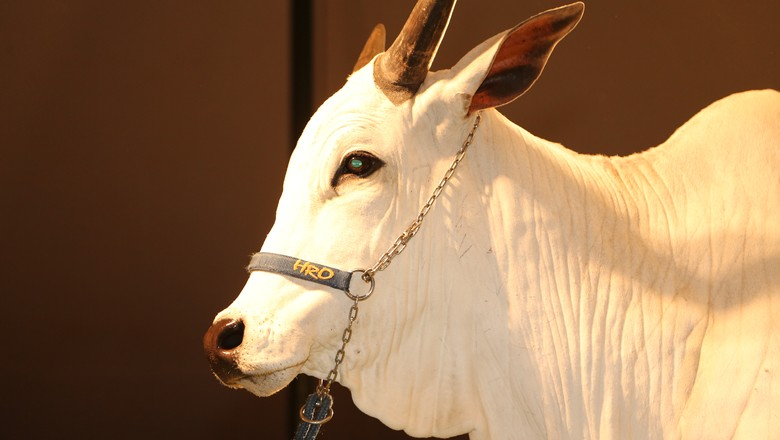 Expozebu-vaca-clone-pecuária (Foto: Fabio Fatori)