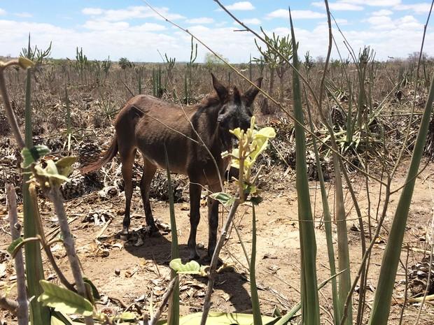 Animais também dependem do sisal como alimento no semiárido da Bahia (Foto: Henrique Mendes / G1)