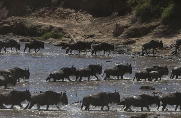 Gnus atravessam rio rumo à reserva natural no Quênia (Foto: Rebecca Blackwell/AP)
