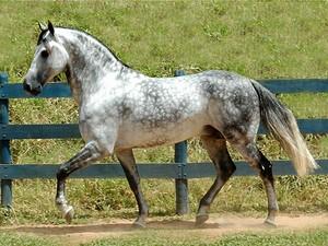 Os cavalos mangalarga também ganham destaque (Foto: Ascom Cordeiro/Divulgação)