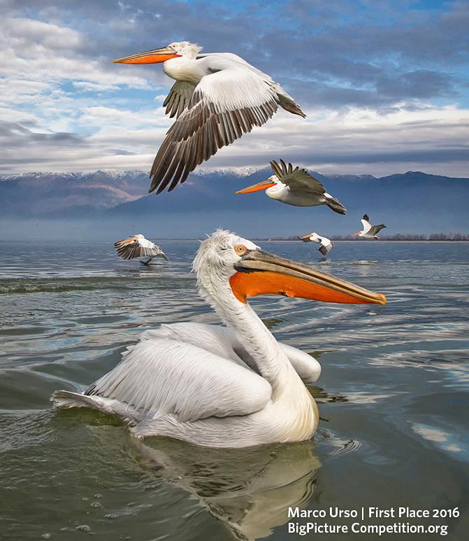 """Categoria Vida Aérea - """"Composição de Pelicanos"""", fotografada pelo italiano Marco Urso, na Grécia (Foto: Marco Urso)"""