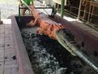 Restaurante filipino assa crocodilo inteiro no espeto