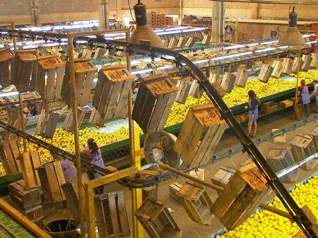 Estado de São Paulo é responsável por 28% da produção de laranja nacional (Foto: Reprodução / TV TEM)